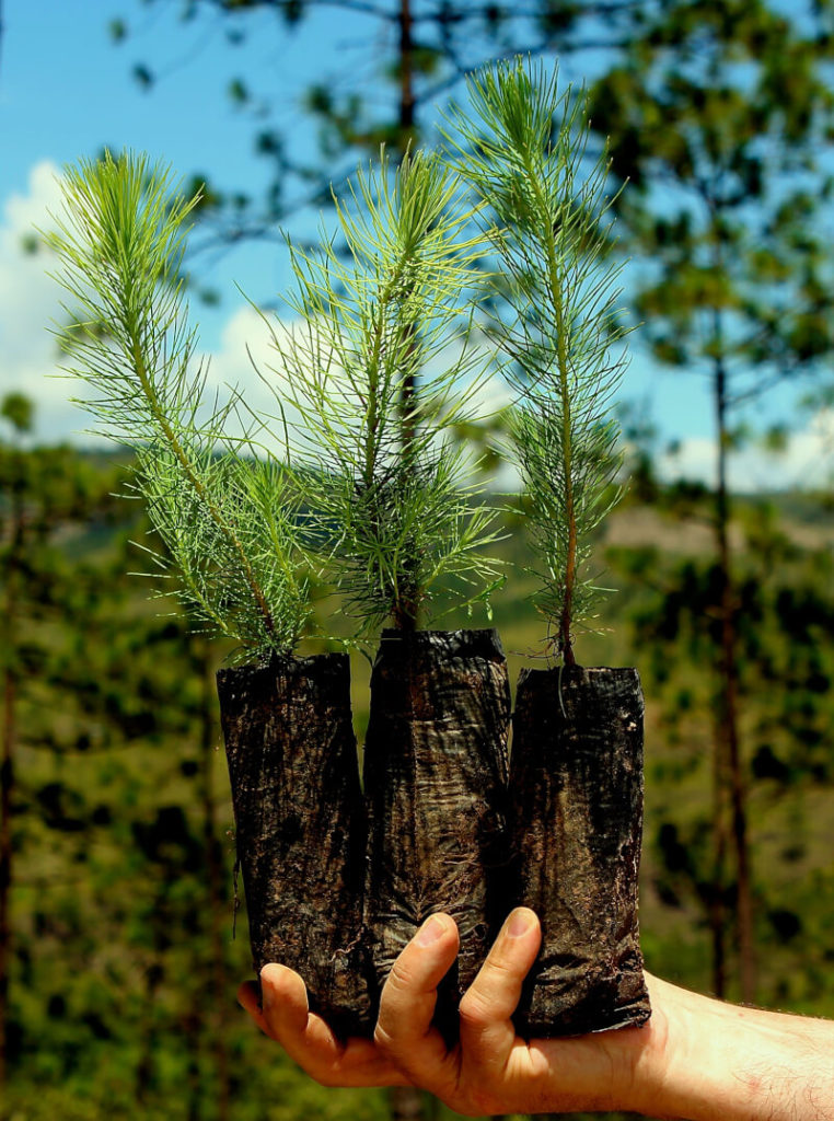 Three Tree Pledge Pine Saplings